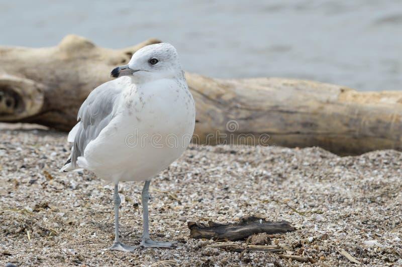 Uma gaivota na costa fotos de stock