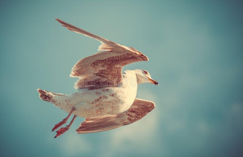 Uma gaivota no vôo O ¡ de Ð perde o tiro foto de stock royalty free