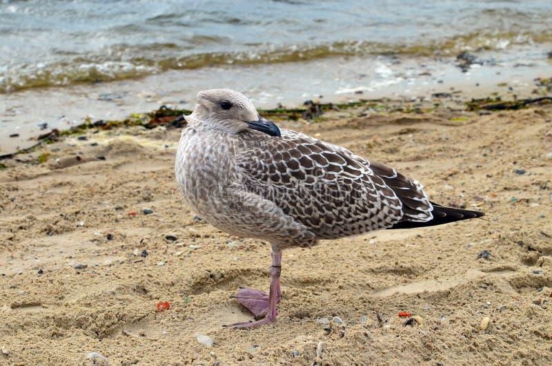 Uma gaivota OM que o litoral com sua cabeça girou para trás fotografia de stock royalty free