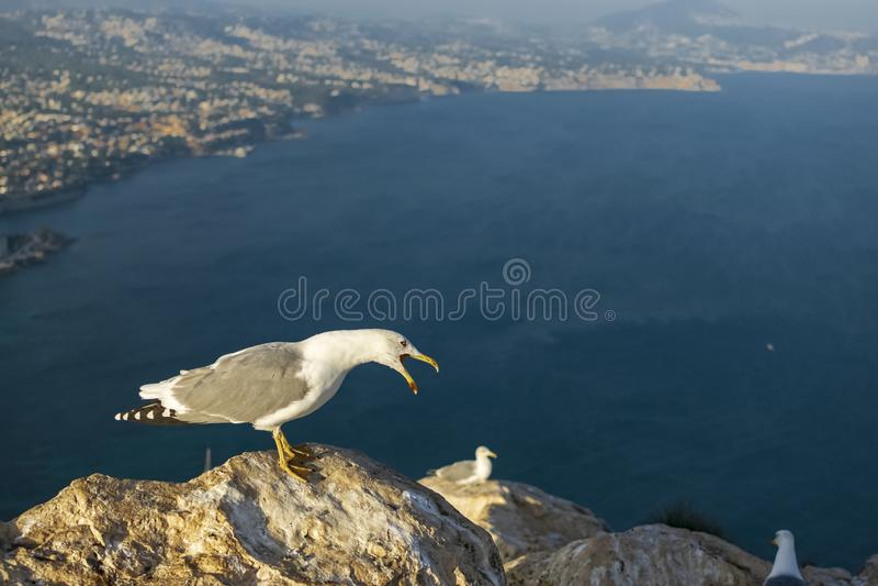 Uma gaivota que descansa e que faz um gralhado poderoso fotos de stock