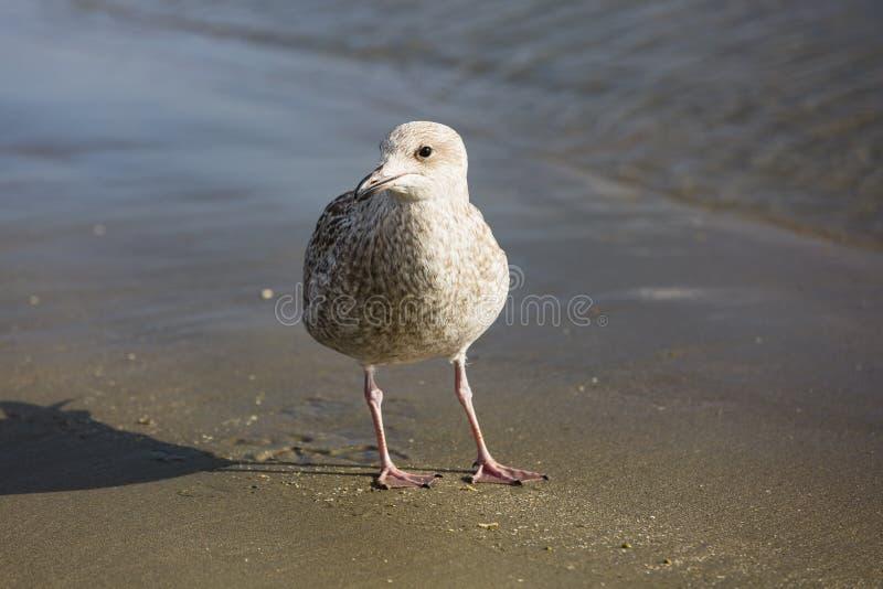 Uma gaivota que procura o alimento ao longo da linha costeira fotos de stock royalty free