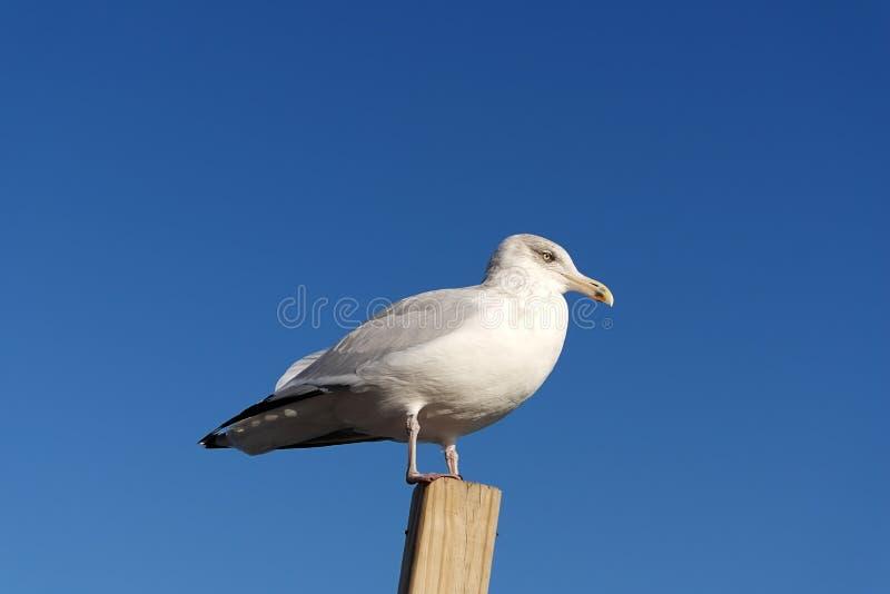 Uma gaivota que senta-se em uma parte de madeira contra um fundo claro do céu azul fotografia de stock royalty free