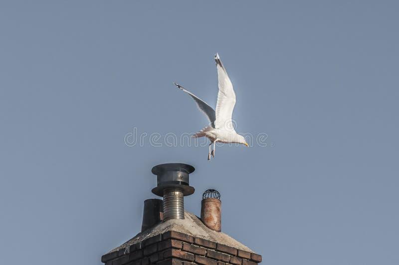 Uma gaivota que voa afastado com asas abertas fotografia de stock