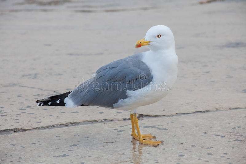Uma gaivota, vista lateral, olhando para trás foto de stock royalty free
