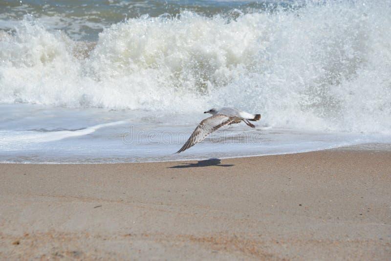 Uma gaivota voa ao longo dos disjuntores da praia de Fernandina em Amelia Island, Florida imagem de stock