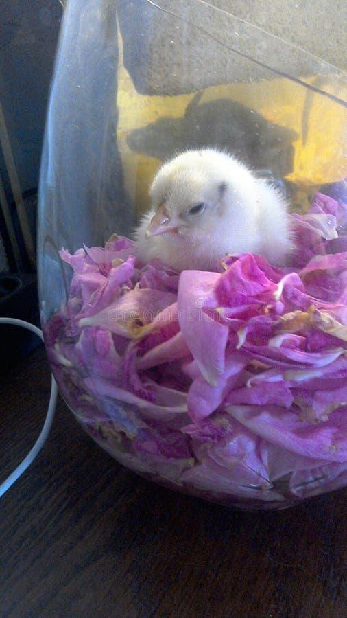 Uma galinha fotos de stock