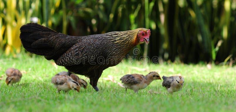 Uma galinha e suas crianças fotografia de stock royalty free