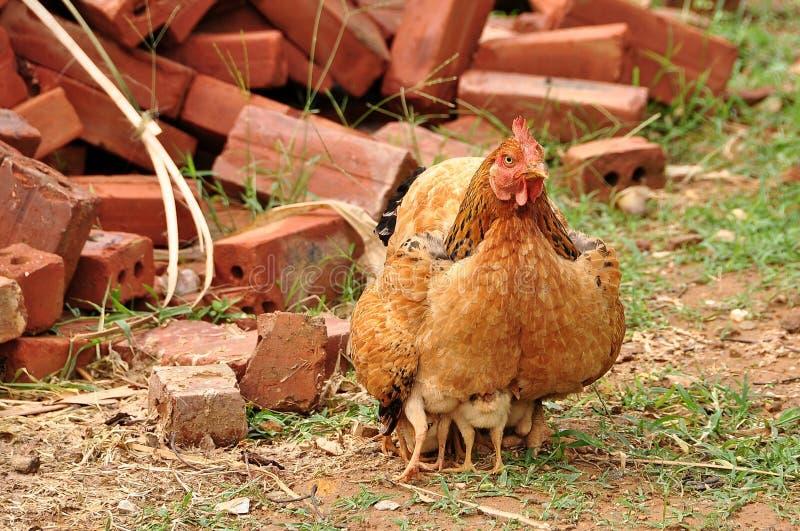 Uma galinha está protegendo suas crianças foto de stock