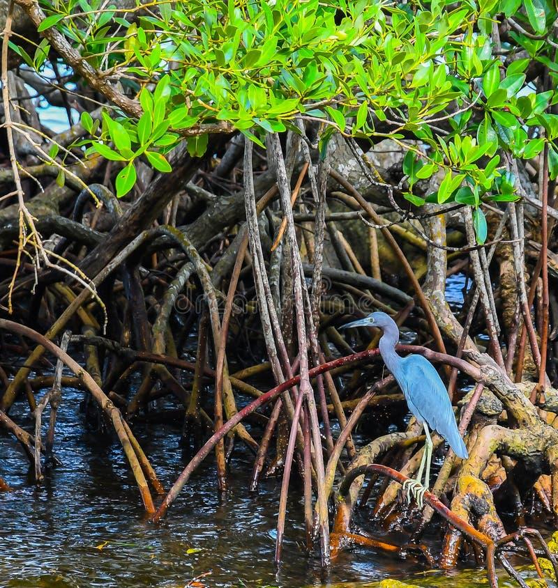 Uma garça-real azul pequena que está nos manguezais imagens de stock