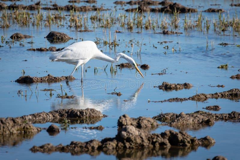Uma garça-real branca que caça na lagoa Grande egret da garça-real branca adulta na caça no parque natural de Albufera, Valência, imagem de stock