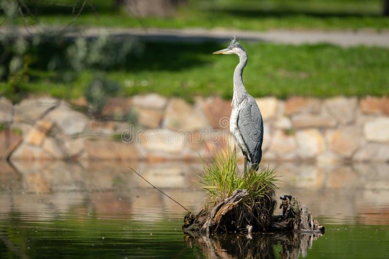 Uma garça-real cinzenta que está perto de uma lagoa fotografia de stock royalty free