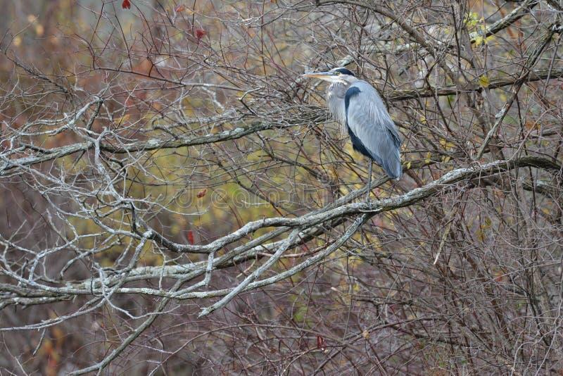 Uma garça-real de grande azul que Roosting em uma árvore fotos de stock royalty free