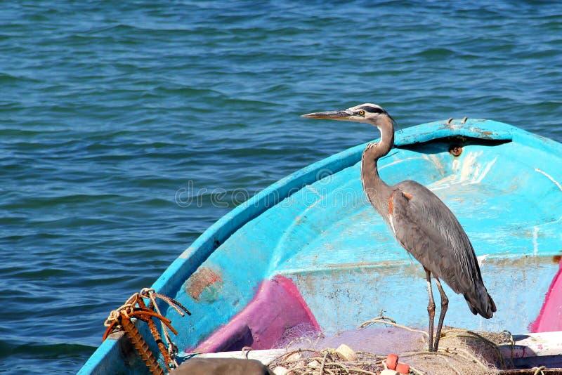 Uma garça-real graciosa do pássaro de mar descansa em um barco de pesca azul com redes de pesca no mar de Cortez em México fotografia de stock royalty free