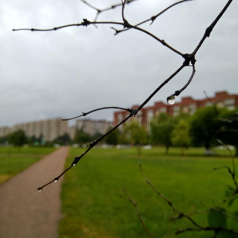 Uma gota da chuva pendura em um ramo, na perspectiva da natureza urbana foto de stock