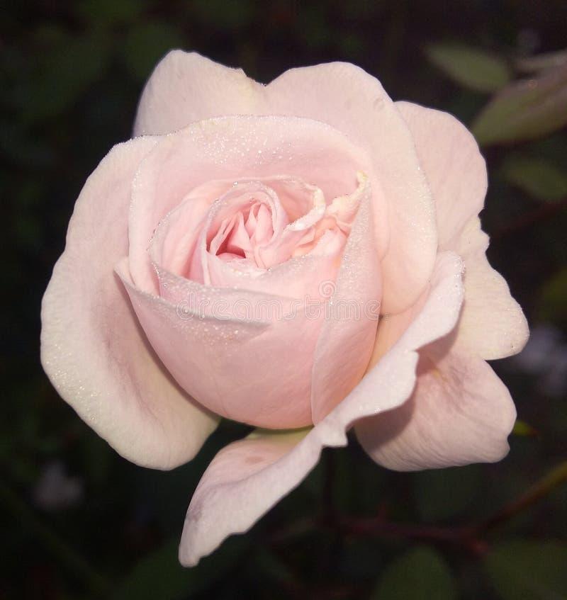 Uma gota do orvalho em Rosa bonita imagens de stock