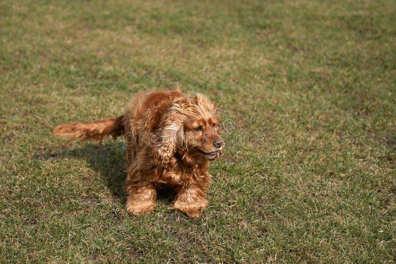 Uma grama das lutas de cão do spaniel do marrom imagem de stock royalty free
