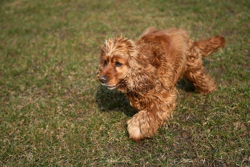 Uma grama das lutas de cão do spaniel do marrom fotos de stock royalty free