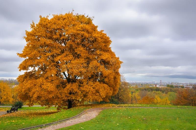 Uma grande árvore de bordo amarela no parque imagens de stock