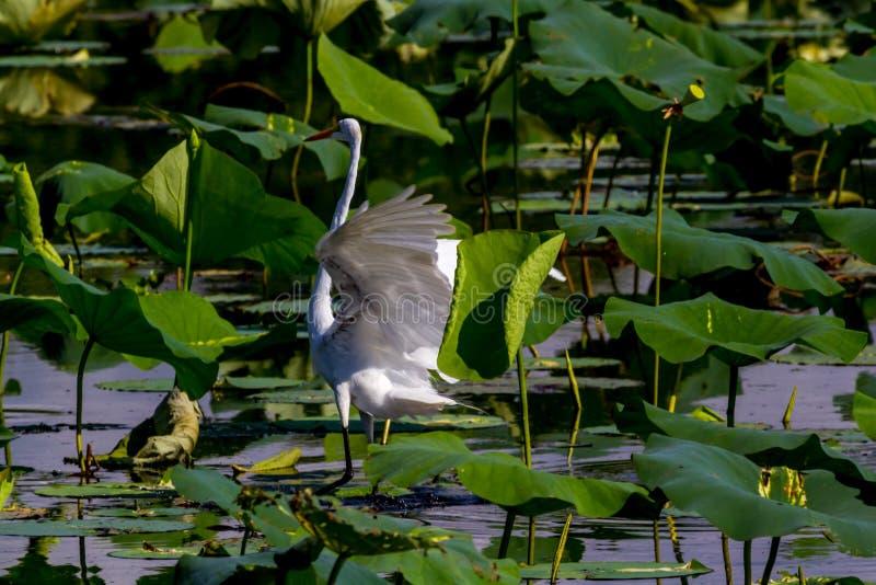 Uma grande aterrissagem branca bonita do Egret no lago fotos de stock