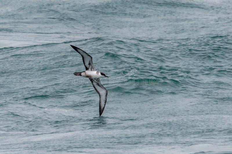 Uma grande ave marinho do Shearwater em voo sobre o oceano imagem de stock