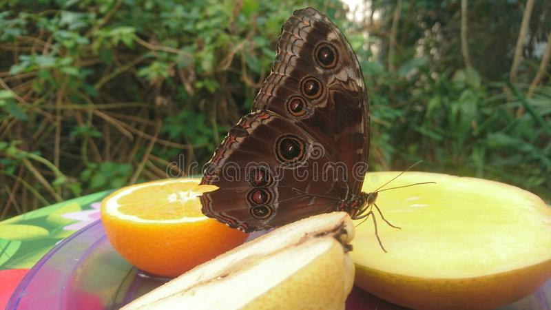 Uma grande borboleta com os pontos e os pontos que estão em algum fruto fotos de stock royalty free