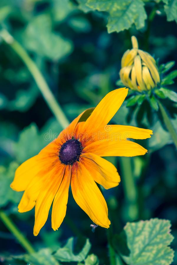 Uma grande flor amarela com um meio roxo imagem de stock royalty free