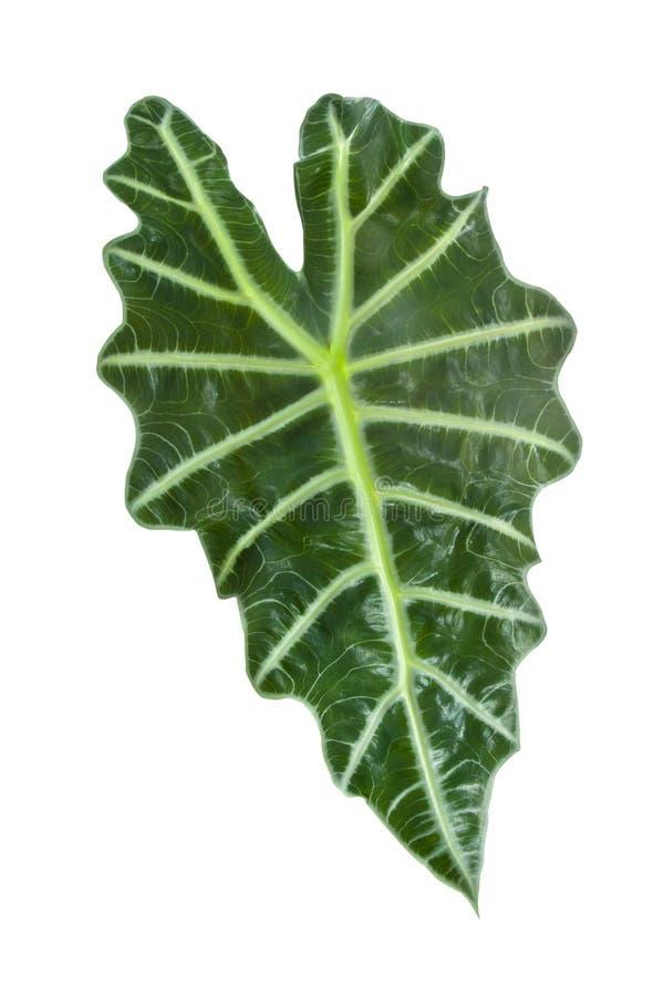 Uma grande folha verde foto de stock royalty free