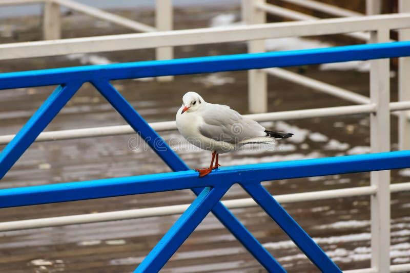 Uma grande gaivota de White River ou de mar senta-se em uma cerca azul do metal na névoa Cena do outono, do inverno ou da mola Pa fotos de stock royalty free