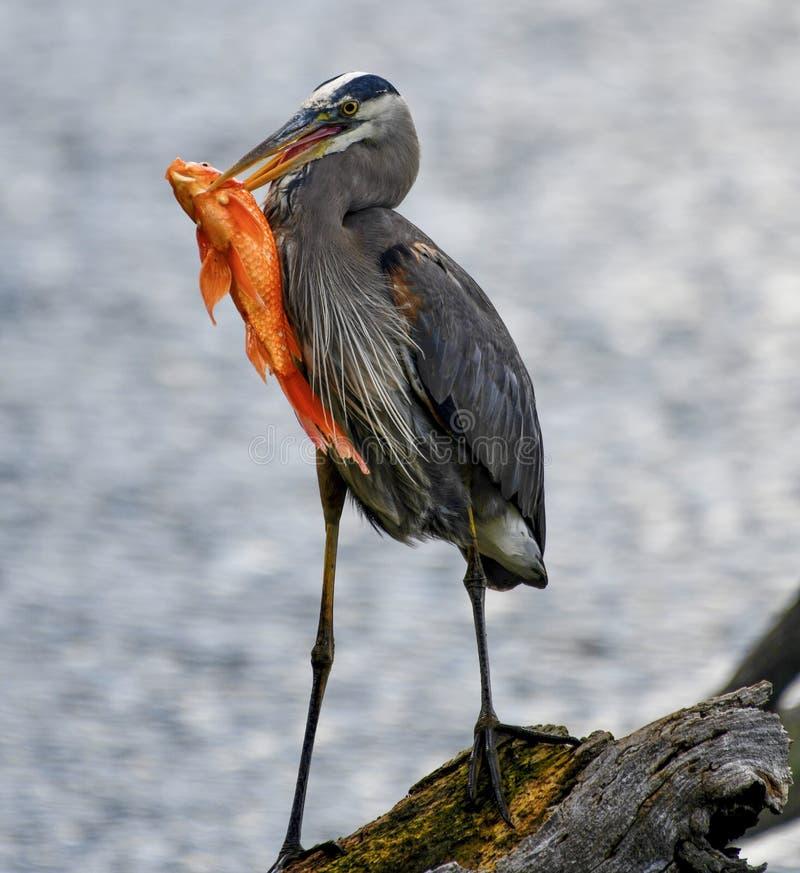 Uma grande garça-real azul e um peixe #2 imagens de stock royalty free