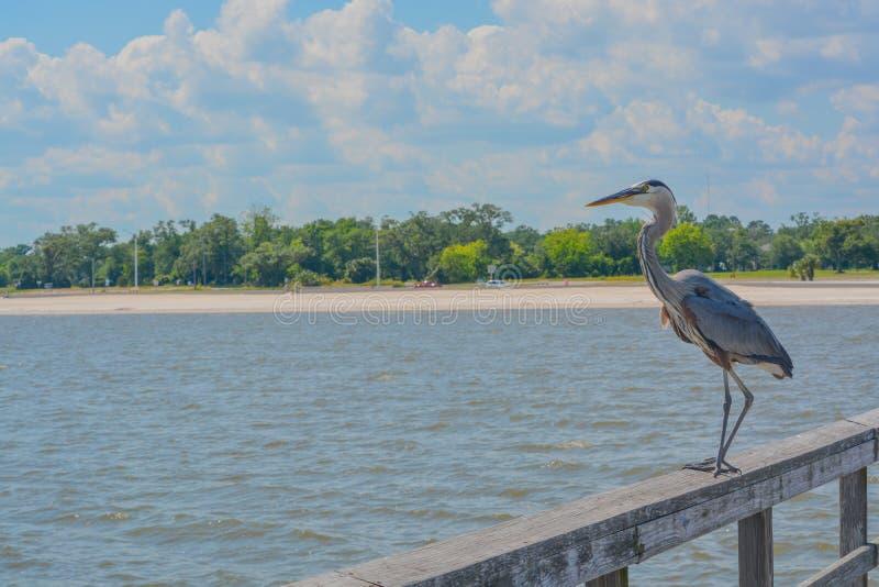 Uma grande garça-real azul em Jim Simpson Sr que pesca o cais, Harrison County, Gulfport, Mississippi, Golfo do México EUA imagem de stock
