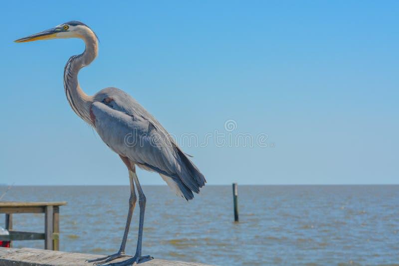 Uma grande gar?a-real azul em Jim Simpson Sr que pesca o cais, Harrison County, Gulfport, Mississippi, Golfo do M?xico EUA foto de stock royalty free
