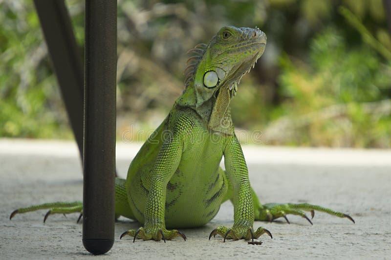 Uma grande iguana verde que levanta quase em Key West, Florida imagens de stock royalty free