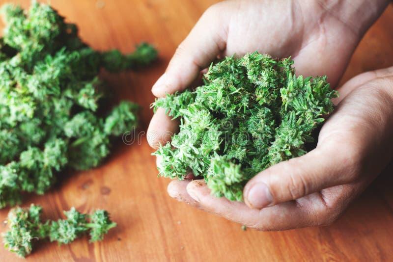 Uma grande pilha dos botões aparada e do tratamento de mãos do cânhamo em suas mãos Conceito da legalização do cannabis para o us imagem de stock royalty free