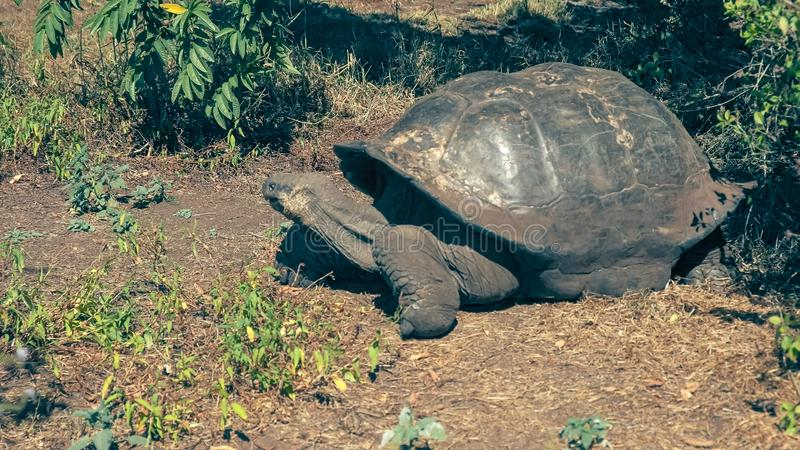 Uma grande tartaruga de Galápagos do gigante que alimenta no isla Santa Cruz nos Galápagos fotografia de stock royalty free