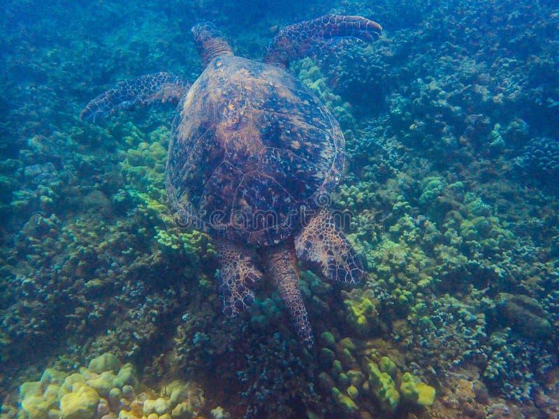 Uma grande tartaruga de mar verde imagens de stock