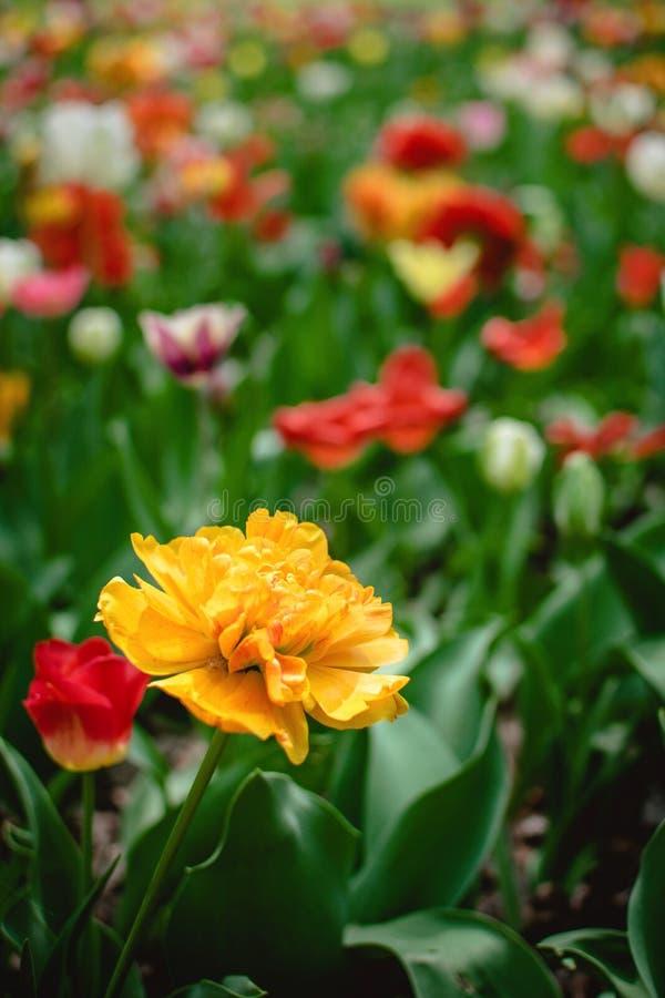 Uma grande, tulipa alaranjada amarela ensolarada com lotes das pétalas franzidos entre tulipas coloridas no jardim, arboreto Flor foto de stock royalty free