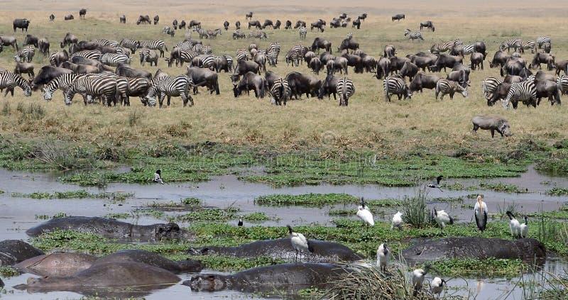 Uma grande variedade de animais selvagens é considerada no lago Magadi na cratera de Ngorongoro em Tanzânia, Afric imagens de stock royalty free