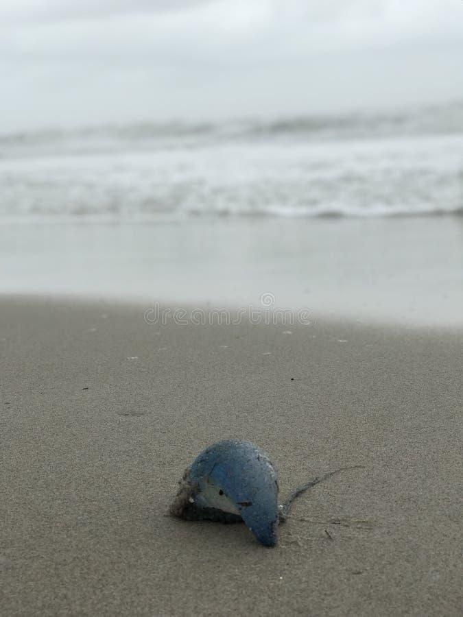 Uma guerra portuguesa atlântica azul e roxa notável do ` do homem o toma sol nas praias de Florida fotos de stock royalty free