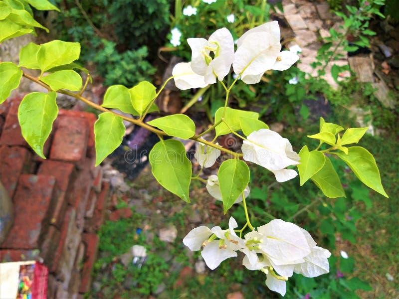Uma haste da flor branca bonita & das folhas esverdeados fotos de stock royalty free