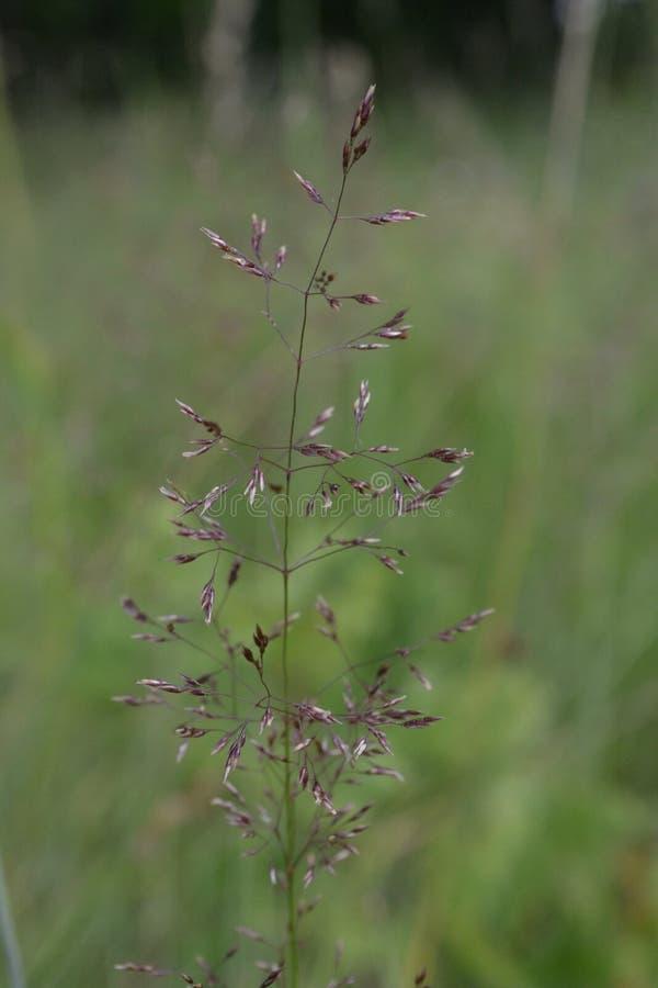 Uma haste da grama contra um fundo do prado verde no verão foto de stock royalty free