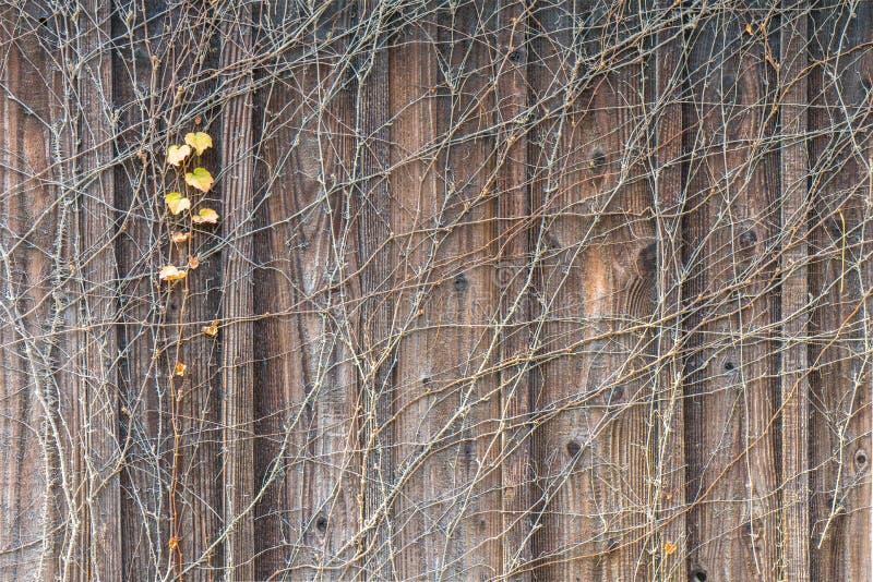 Uma hera vermelha na parede de madeira fotografia de stock