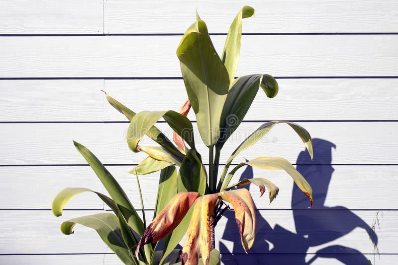 Uma ideia de plantas verdes e de um fundo de madeira branco foto de stock royalty free