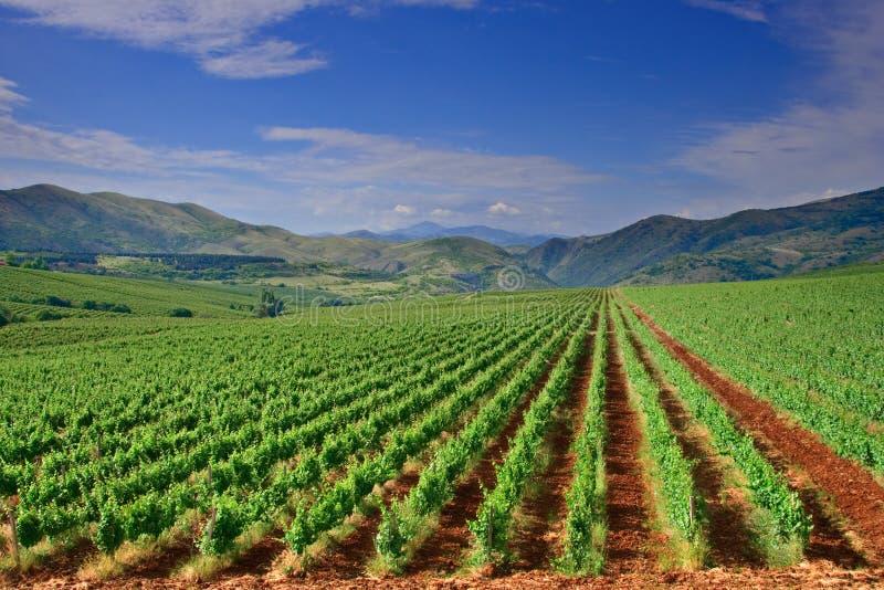 Uma ideia de um campo do vinhedo em Macedónia fotos de stock royalty free