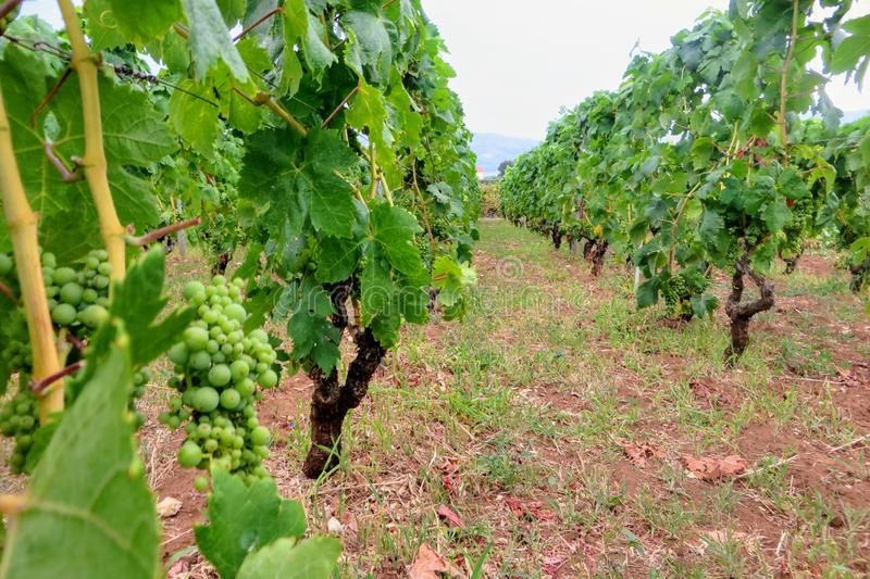 Uma ideia do close up das fileiras das uvas verdes do grk crescidas em um de muitos vinhedos do vinho na ilha de Kurcula na Croác foto de stock royalty free