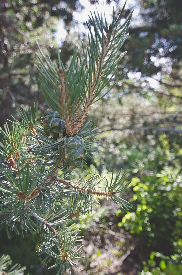Uma ideia dos pinecones verdes frescos nos ramos de árvore foto de stock royalty free