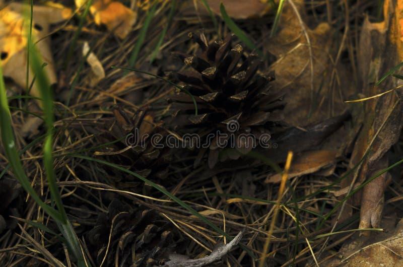 Uma ideia macro do outono do close-up de uma terra coberta com as agulhas e o cone secos do pinho fotografia de stock royalty free