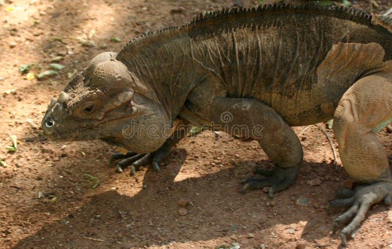 Uma iguana do rinoceronte fotos de stock royalty free