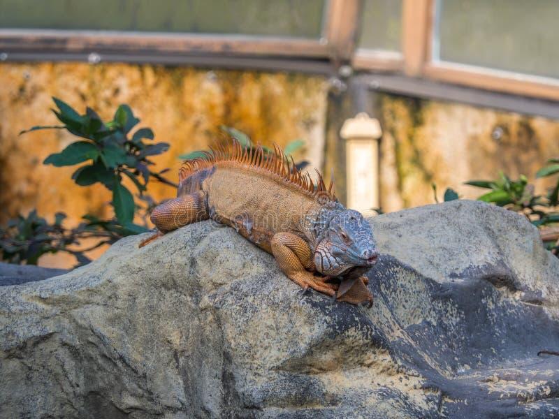 Uma iguana gigante que estabelece em rochas com cara engraçada fotografia de stock royalty free