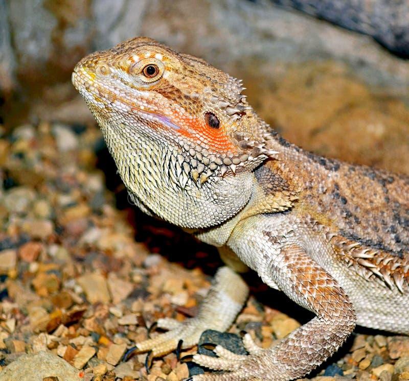 Uma iguana ordinária, ou um Lat verde da iguana A iguana da iguana é um grande lagarto herbívoro, conduzindo uma vida arborizado  imagens de stock