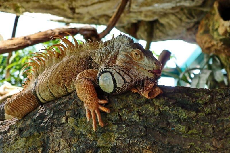 Uma iguana ordin?ria, ou uma iguana verde s?o um grande lagarto herb?voro, conduzindo uma vida arborizado di?ria fotografia de stock royalty free